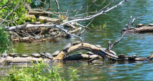 HH Northern Map Turtles 1