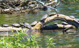 HH Northern Map Turtles 2