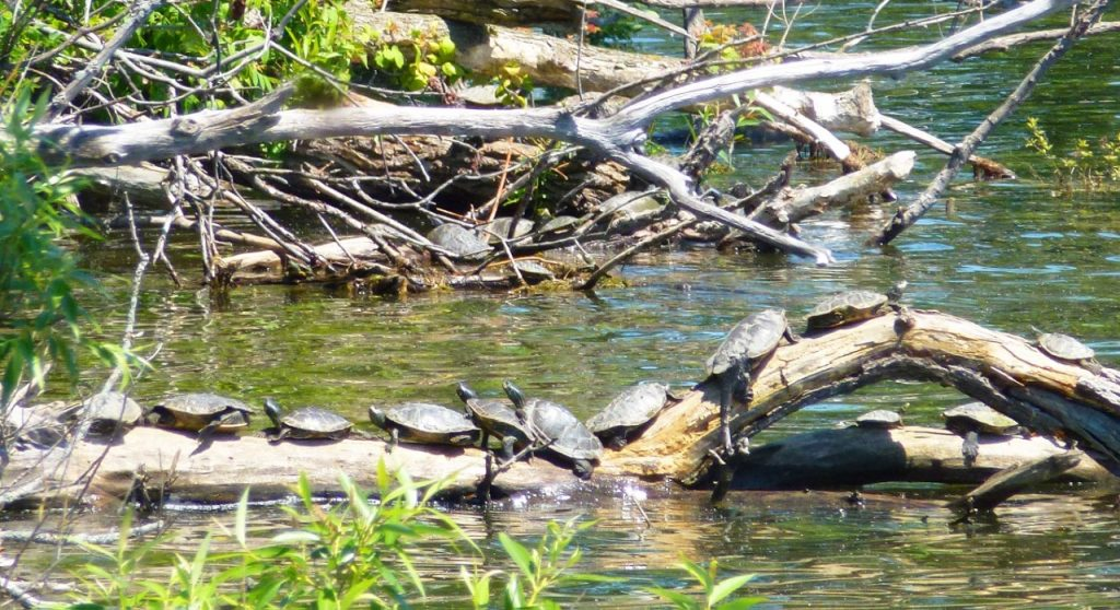 HH Northern Map turtles 3