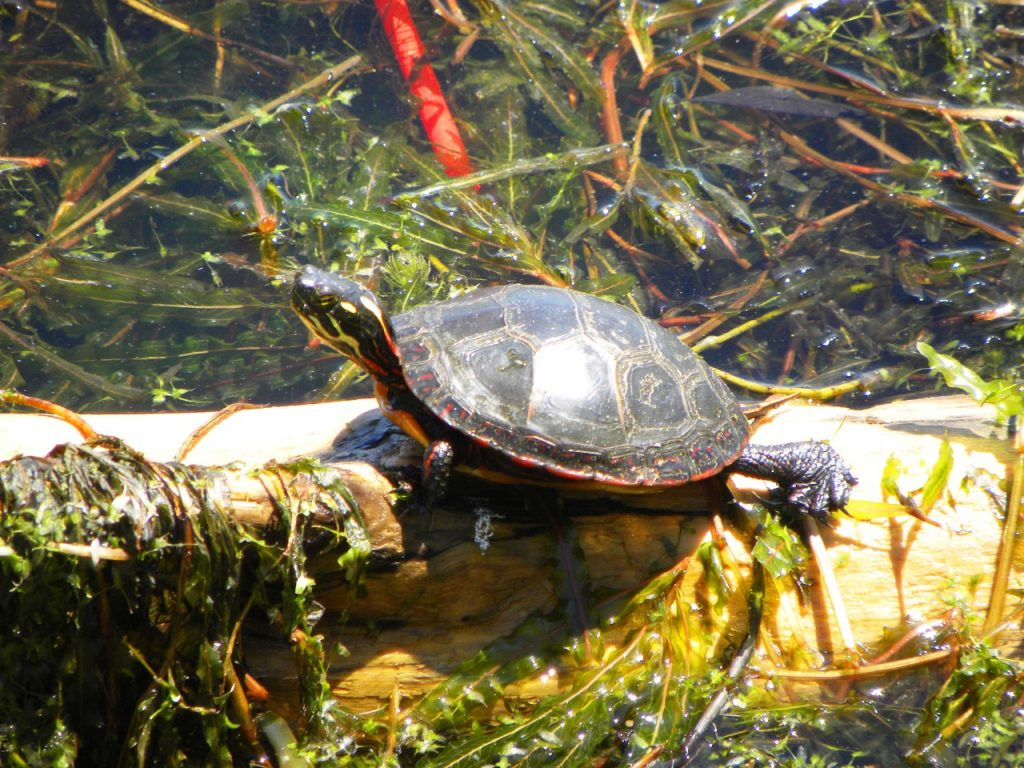 HH Painted Turtle 2