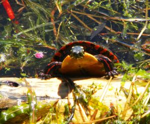 HH Painted Turtle