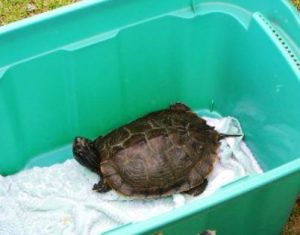 Northern Map Turtle release 1