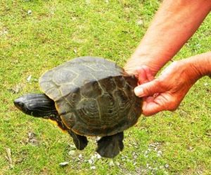 Northern Map Turtle release 3