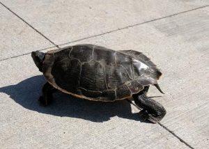 turtle kp trail june 14